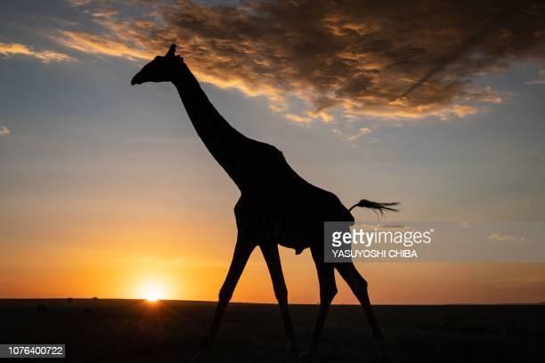 Giraffe walks at sunset in The Masai Mara National Reserve in Kenya on January 1, 2019. - Giraffes, the world's tallest land mammal, have been...