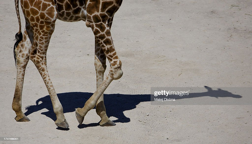 A giraffe walks during sunny day at Prague Zoo on July 21, 2013 in Prague, Czech Republic. This week was one of the driest weeks since 1951, according to Czech meteorologists.