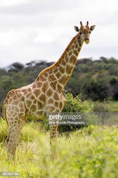 Giraffe, Windhoek Rural, Khomas, Namibia
