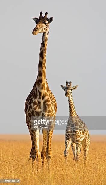 Giraffa in vitello