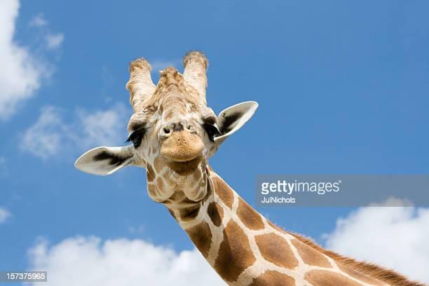 Giraffa con divertente espressione