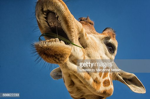 Giraffe With Open Mouth Stock Photo Getty Images