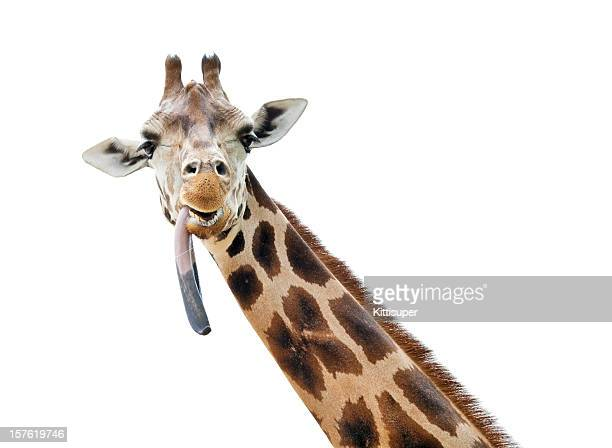 Giraffe with put out tongue