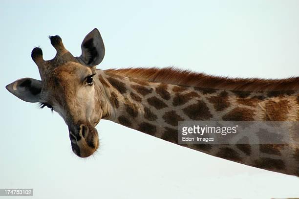 Giraffa - 1