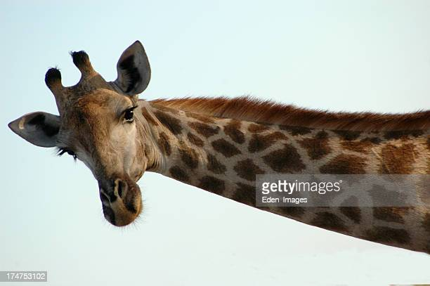 Giraffe - 1