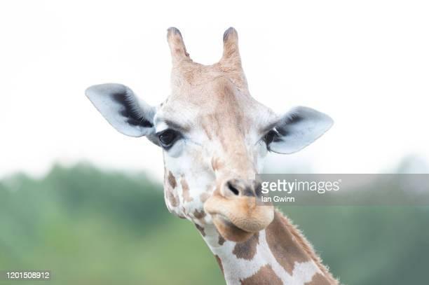 giraffe_1 - ian gwinn fotografías e imágenes de stock