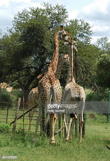 Giraffen Glen Afric Country Lodge Hartbeespoort bei Pretoria Südafrika Afrika Tier Reise BB DIG PNr 240/2006