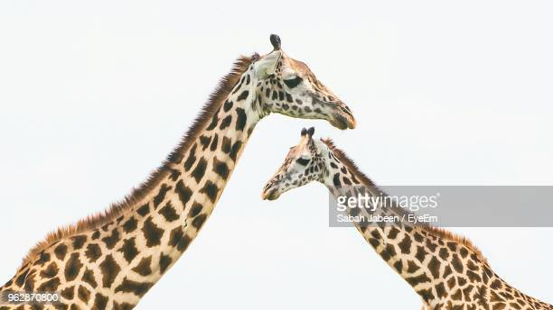 giraffes against clear sky - animal markings stock pictures, royalty-free photos & images