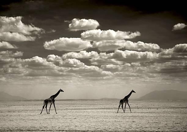 Giraffes, Amboseli Park In Kajiado, Kenya On July 05, 2009 -