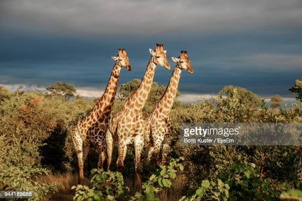 giraffes amidst trees against cloudy sky - kruger national park stock pictures, royalty-free photos & images