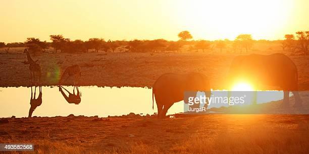 Giraffes and Elephants at a Waterhole in Etosha at Sunset