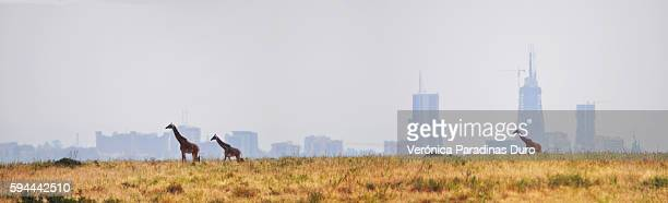 giraffes and skyscrapers, nairobi's skyline - nairobi stock pictures, royalty-free photos & images