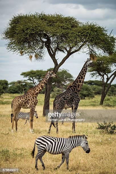Giraffes and Zebras graze the land
