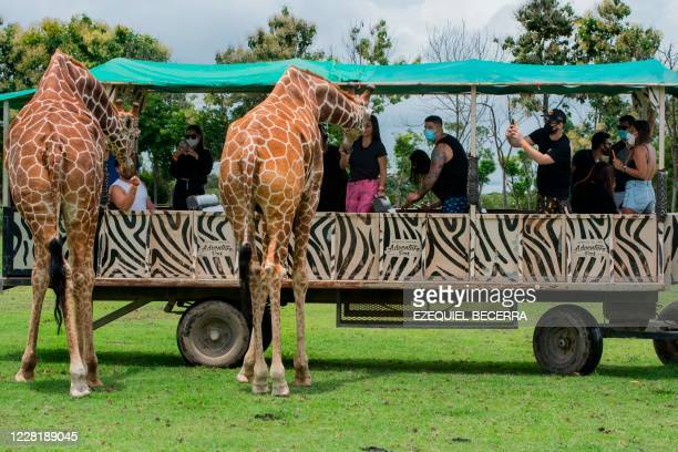 Giraffes are being fed by tourists during a tour at the La Ponderosa Adventure Park in Guanacaste, Costa Rica, on August 22 amid the COVID-19 novel...