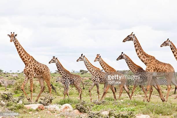 Giraffe sono in esecuzione