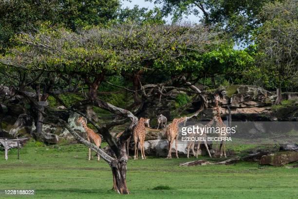 Giraffes are seen at the La Ponderosa Adventure Park in Guanacaste, Costa Rica, on August 22 amid the COVID-19 novel coronavirus pandemic. - The...
