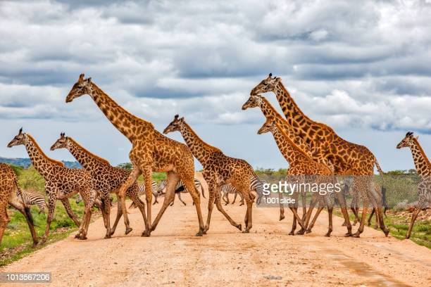 giraffes army running at wild with zebras under the clouds - kenya stock pictures, royalty-free photos & images