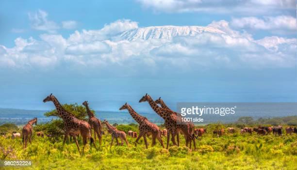 giraffes at amboseli with kilimanjaro and acacia trees - kilimanjaro stock photos and pictures
