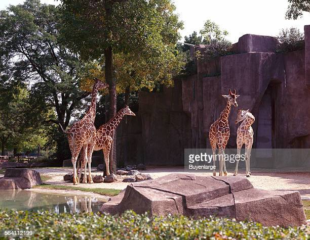 Giraffes at Lincoln Park Zoo Chicago Illinois