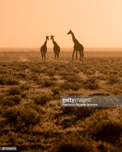 giraffes at sunset, etosha, namibia, africa - safari animals stock pictures, royalty-free photos & images