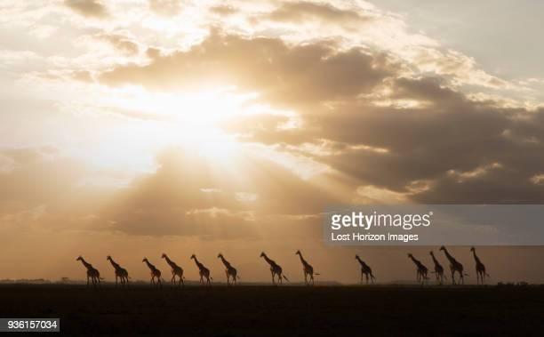 giraffes at sunset in amboseli national park, amboseli, rift valley, kenya - großwild stock-fotos und bilder