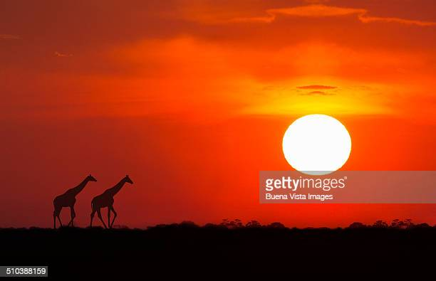 Giraffes  at sunset in Etosha National Park