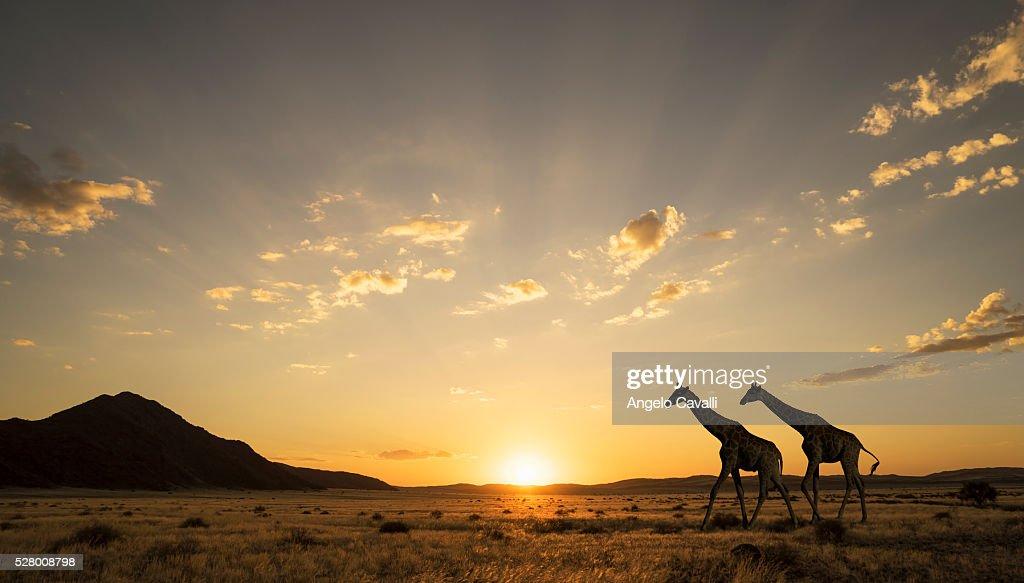 Giraffes at sunset in Etosha National Park : Stock Photo
