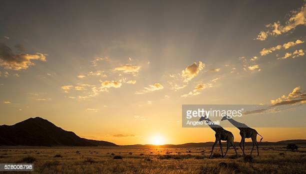 Giraffes at sunset in Etosha National Park