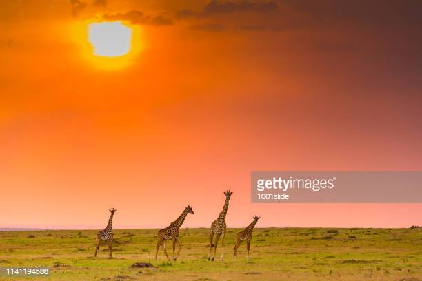 giraffes at sunset in masai mara - safari animals stock pictures, royalty-free photos & images