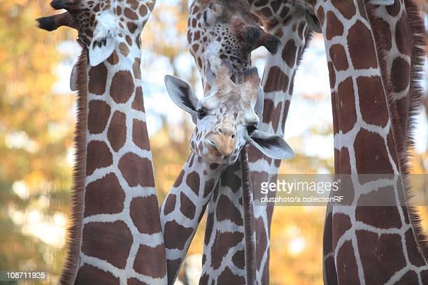 Giraffes at Tama Zoo, Tama Zoo, Tokyo Prefecture, Honshu, Japan
