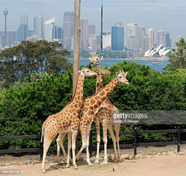 Giraffes at Taronga Zoo in the heart of Sydney who have the very best view in the world. Sitting on the shores of one of Sydney's most expensive...