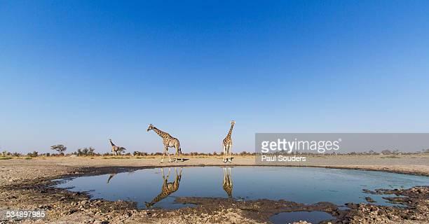 Giraffes at Water Hole, Botswana