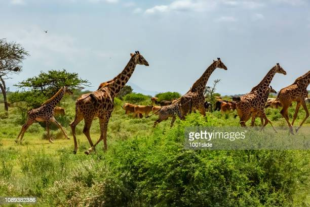 giraffes at wild with cows - amboseli stock photos and pictures
