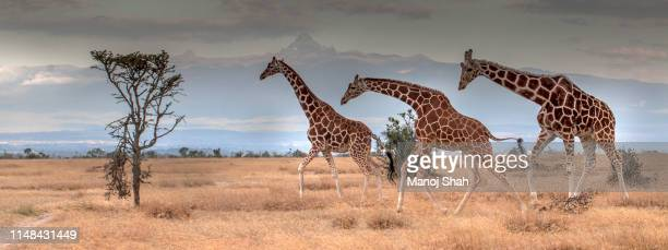 giraffes browsing at footsteps of mt kenya in laikipia. - safari animals stock pictures, royalty-free photos & images