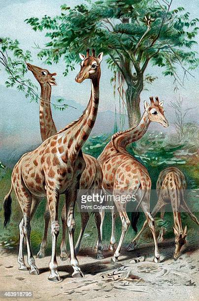 Giraffes browsing c1885 JeanBaptiste Lamarck French naturalist considered that the giraffe illustrated 'Transformism' his theory of evolution which...
