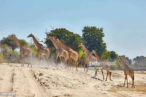 Giraffes crossing park track