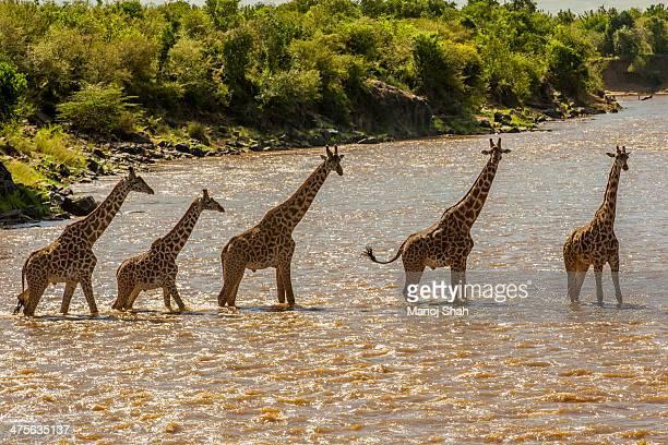 Giraffes crossing river