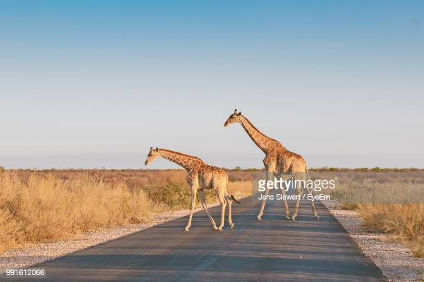 Giraffes Crossing Road Against Clear Sky