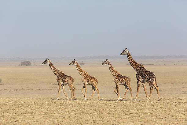 Giraffes crossing the dry plains