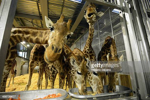 Giraffes during feeding time at the Zoological Park of Paris on December 20 2013 in Paris France Giraffes are among the few animals that remained at...