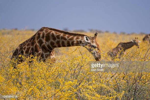 giraffes eating in etosha - don smith imagens e fotografias de stock