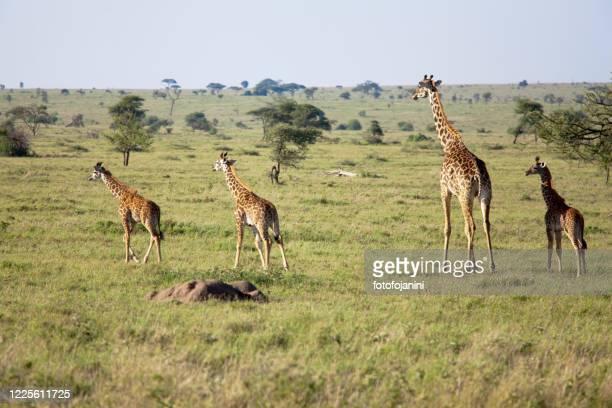 giraffes family in serengeti park - fotofojanini foto e immagini stock