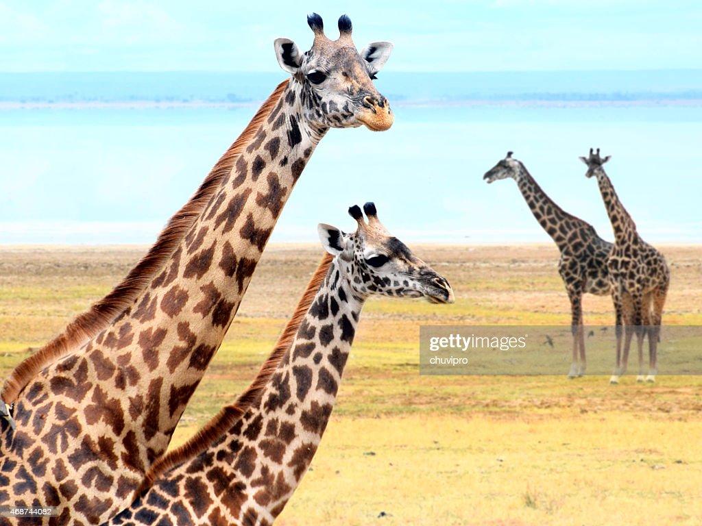 Giraffe's family near lake : Stock Photo