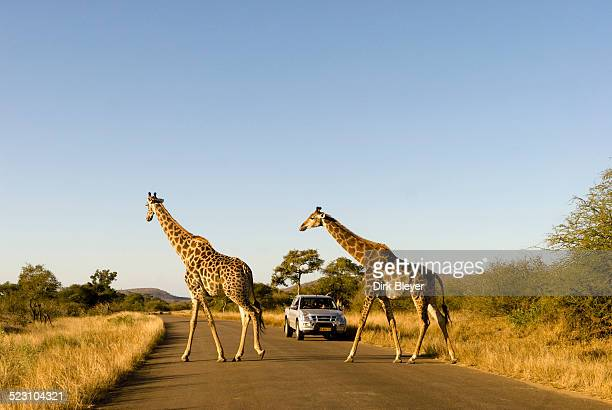 giraffes -giraffa camelopardalis- crossing a road, a jeep at the back, kruger national park, south africa - kruger national park stock pictures, royalty-free photos & images