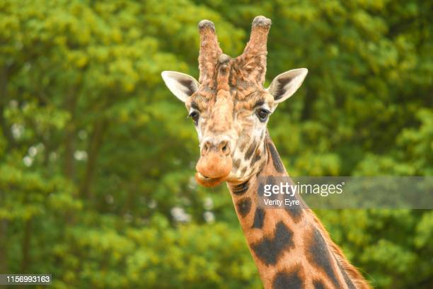 giraffes head with space for copy - long neck animals stock pictures, royalty-free photos & images