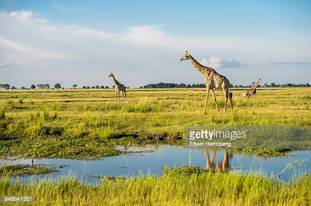 Giraffe's in a National Park
