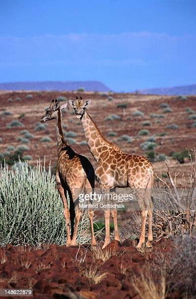 Giraffes in Damaraland