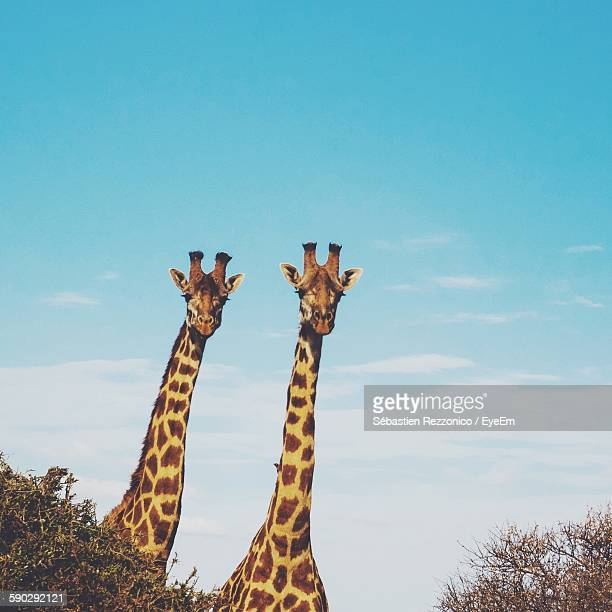 Giraffes In Forest Against Sky