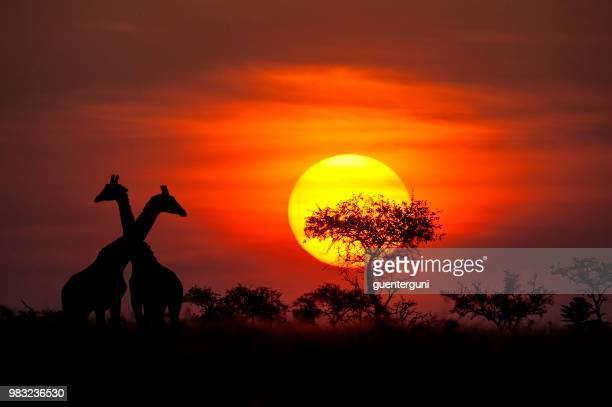 giraffes in front of a perfect african sunset - tanzania stock pictures, royalty-free photos & images