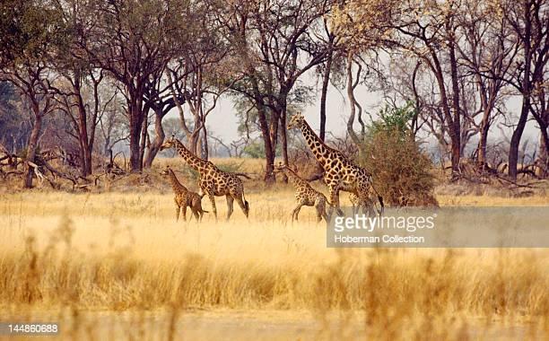 Giraffes in Grassland South Africa